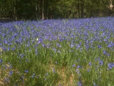 bluebells2